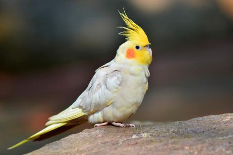 Cacatúa-ninfa